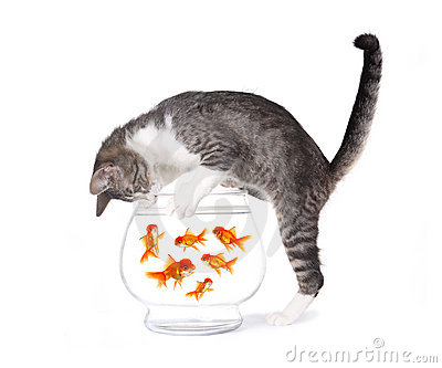 Cat Fishing For Gold Fish In An Aquarium Bowl Royalty Free