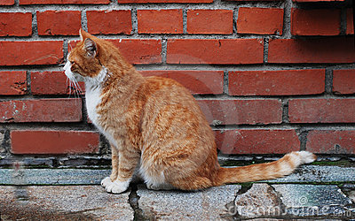 Cat in front of the brick wall