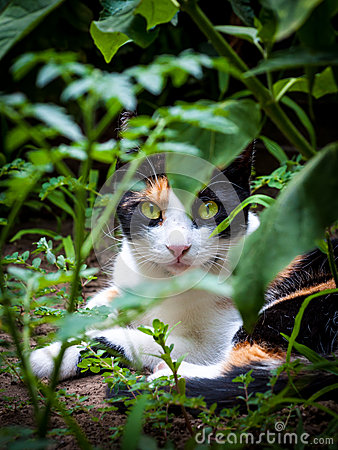 Calico triple fur cat in garden
