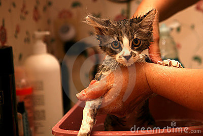 Cat getting a bath