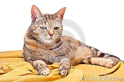 Cat on Golden Fabric