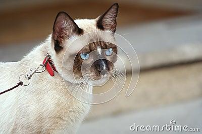 Cat - harness 1