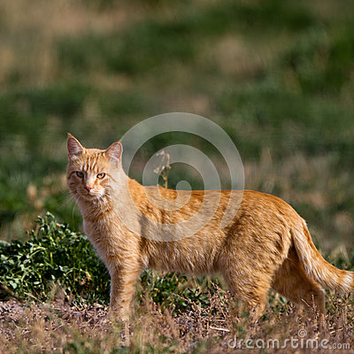 Cat on the hunt in a marsh