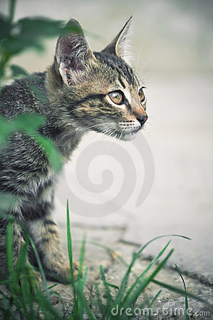 Free Cat Hunting Behind Green Grass Royalty Free Stock Images - 16342899