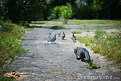 Cat hunting pigeons
