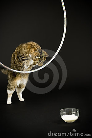 Cat jumping for milk