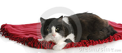 Cat laying on blanket