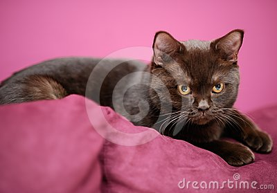 Cat laying on the pillow