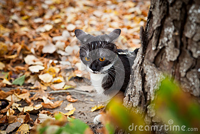 A cat on a leash playing in fall dry leaves