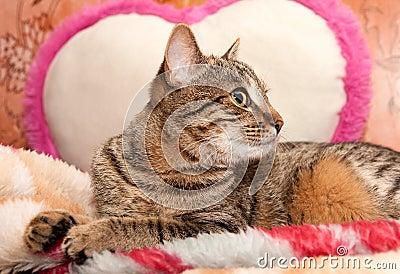 Cat lie On Pillow