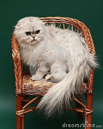 Cat. Long-haired Scottish fold.