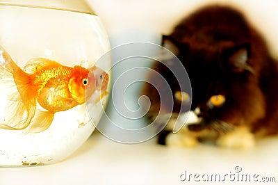 Cat looking at gold fish