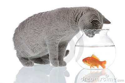 Cat looking at a goldfish