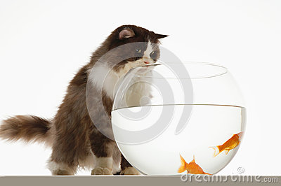 Cat Looking At Goldfish In Fishbowl