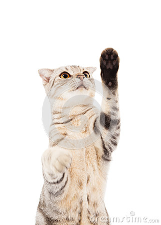 Cat looking and lifted paw