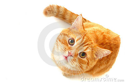 Cat looking up - isolated on white