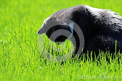Cat looks at the ground in the grass