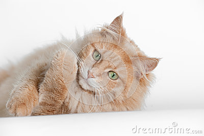 Cat lying on white backdrop