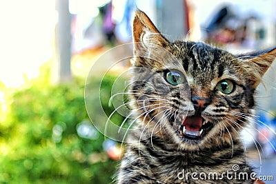 Cat Meowing Free Public Domain Cc0 Image