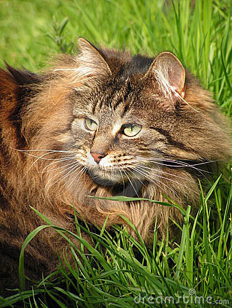 Cat (Norwegian forest cat) in the grass,