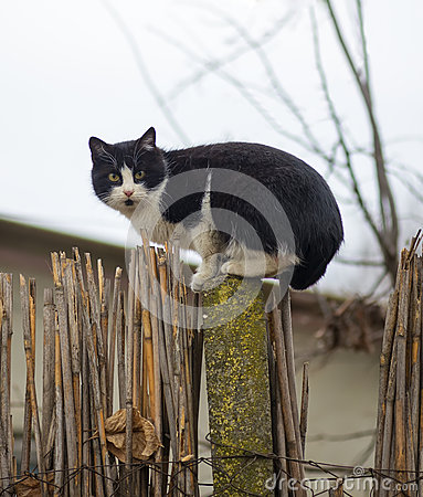 Free Cat On A Fence. Neighbors Cat Is Staring At Photographer In The Farm Stock Photo - 67956870