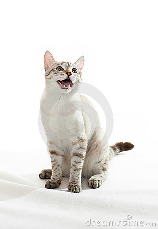 Cat with open mouth.