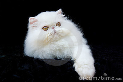 Cat Persian Copper Eyed White