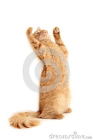 Cat plaful