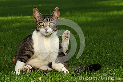 Cat Playing Outdoors On The Grass Royalty Free Stock Images - Image: 24852259