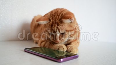 Cat plays on phone with computer game mouse. Cat plays on smartphone with a computer game mouse stock video footage