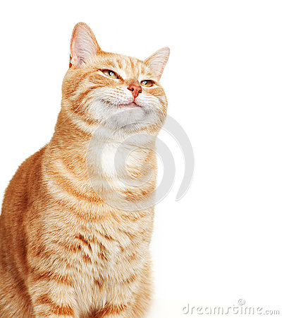 Free Cat Portrait. Royalty Free Stock Photography - 31666267