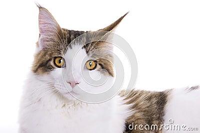 Cat portrait, Maine Coon