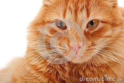 Cat red big closeup