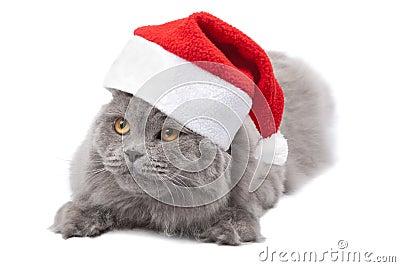 Cat in red cap isolated