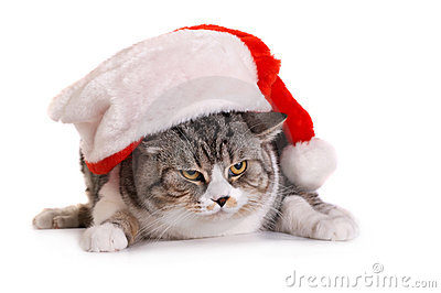 Cat in  Santa Claus  Headdress
