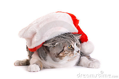 Cat in  Santa Claus  Headdress