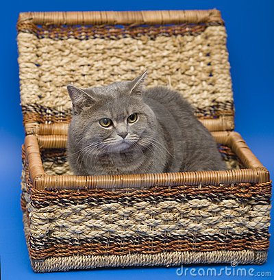 Free Cat Scottish Straight Stock Image - 7216711