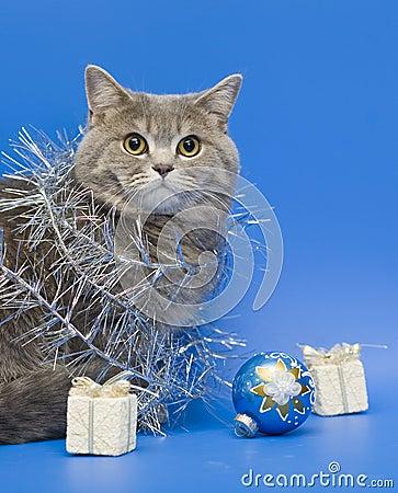 Free Cat Scottish Straight Stock Photo - 7216730