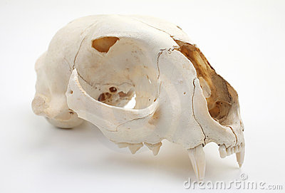 Cat skull side view
