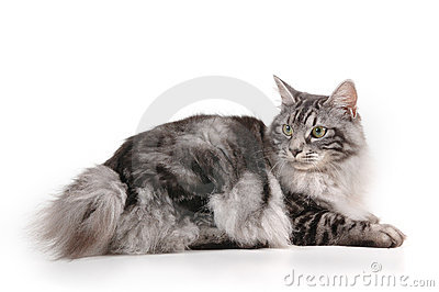 Cat with small tail