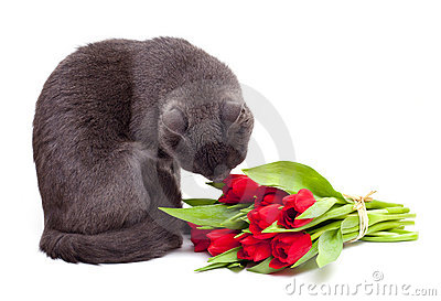 Cat is smelling red tulips