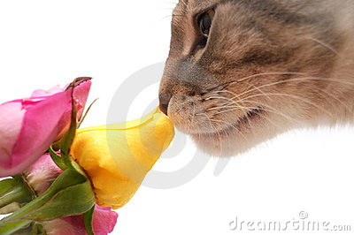 Cat smells fragrance of roses