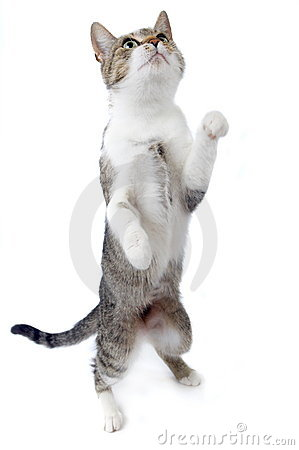 Free Cat Standing On Hind Legs Stock Photo - 3721170