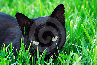 Cat staring in the grass