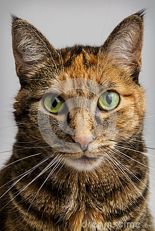 Free Cat Staring Intensely Royalty Free Stock Photo - 41478025