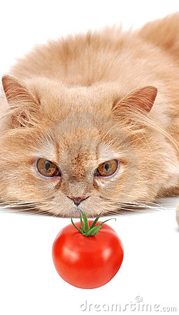 Cat staring at tomato