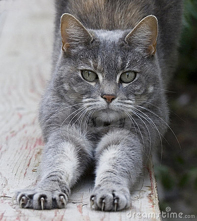 Free Cat Stretching On Fence Royalty Free Stock Photo - 4042315