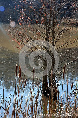 Free Cat Tails And A Hemlock Tree Royalty Free Stock Photography - 105202777