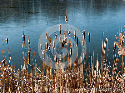 Cat tails on the lake