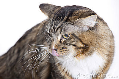Cat, tongue out, Main coon